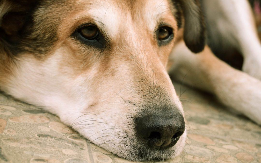 Méhgyulladás kutyáknál